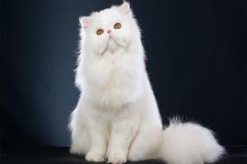 Jenis Kucing Persia Populer di Indonesia Beserta Karakteristiknya
